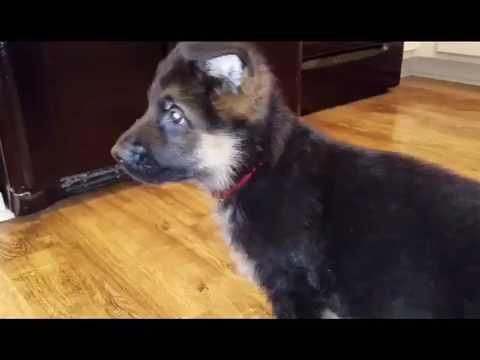 Red collar puppy wondering around the kitchen.