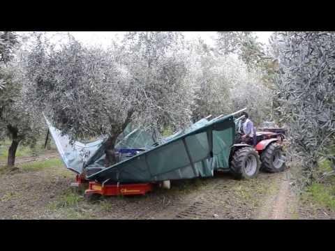 You Camp #12 #foglietv #youcamp – raccolta olive con scuotitore