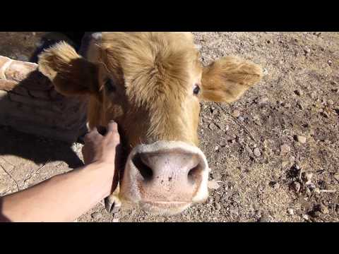 Happy Little Cow Loves Head Scratches