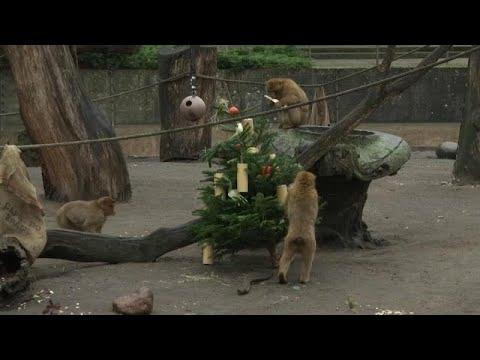 Χριστουγεννιάτικα έλατα… σνακ για τους ενοίκους του Berlin Zoo…