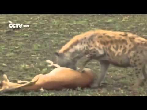 غزال ذكي يتظاهر بالموت لينجو من النمر