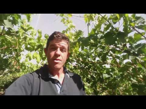 Grapevine Soil Fertilization Series | BUD BREAK | part 1