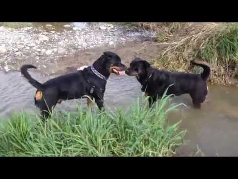 Video 2 Rottweilers Meet Each Other In The Dog Park download in MP3, 3GP, MP4, WEBM, AVI, FLV January 2017