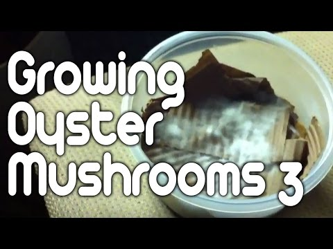Growing oyster mushrooms 3