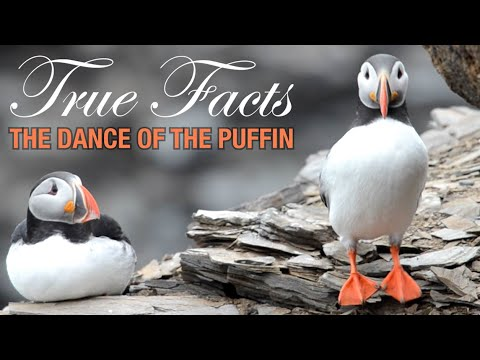 Mating Dance of the Puffin
