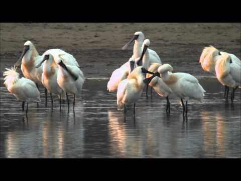 【台江】風中旅者 - 黑面琵鷺 (3分鐘國語版)