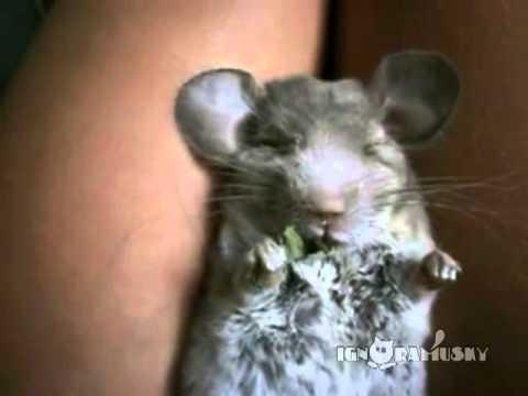 chinchilla-multitasking
