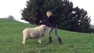 Owca GRA w piłkę!