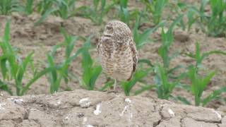 Gorgeous burrowing owl in Othello, WA