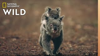 Koalas 101