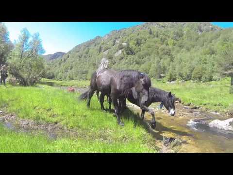 Transhumance des Merens dans les Pyrenees