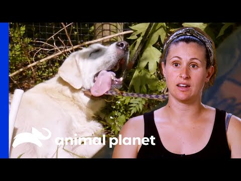 Limping Dog Collapses After Hot Pursuit Chase | Pit Bulls & Parolees