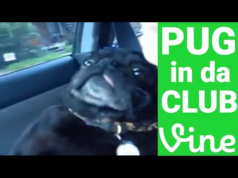 Pug in da club – Vine Video –  1 minute loop