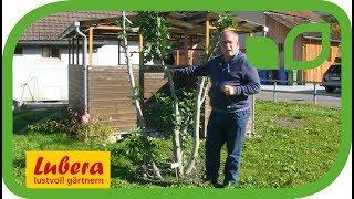 Feigenbaum umpflanzen - wie geht das und auf was muss geachtet werden?
