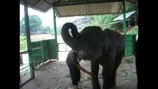 Phuket Thailand Funny Asian Elephant Calf - Elephant Plays Harmonica