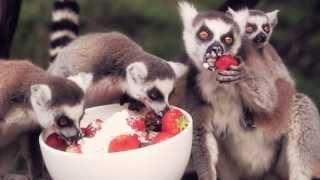Lemurs enjoying strawberries and cream at West Midland Safari Park