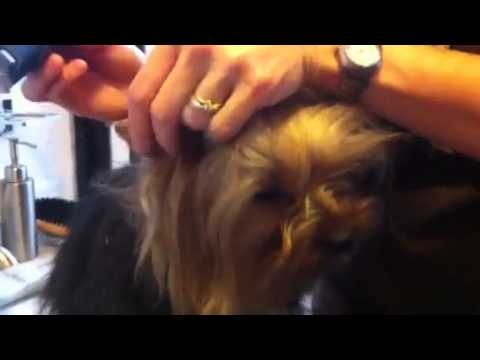 Como cortar el pelo de las orejas de un perro