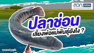 การเลี้ยงพ่อแม่พันธุ์ปลาช่อน