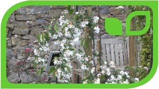 Der Hängeapfel Pendolino Settembre in voller Blüte