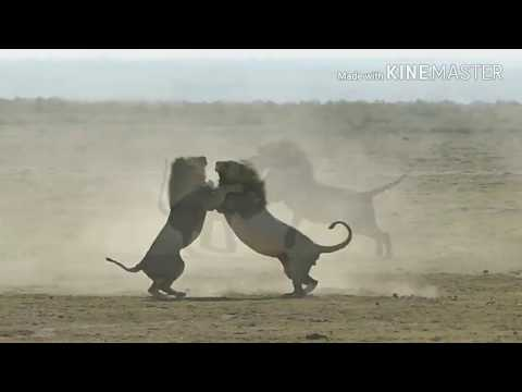 Download Epic 2 Male lions fighting to death (Aug 2017)