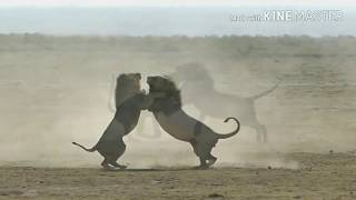 Video Epic 2 Male lions fighting to death (Aug 2017) MP3, 3GP, MP4, WEBM, AVI, FLV Februari 2019