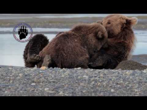 Bear Cub Nursing and Purring
