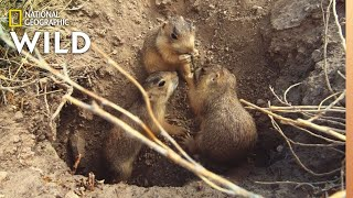 A Prairie Dog Pup Forages For Food | Prairie Dog Manor by Nat Geo WILD