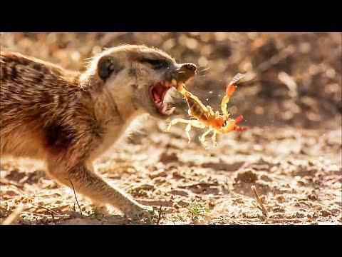 BBC Earth 50 Top Natural History Moments   50-41