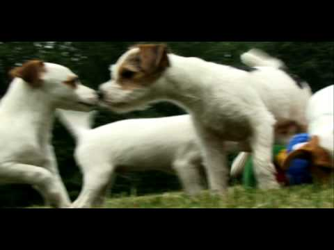 the awesome jack russell in action!