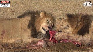 Video Lions With A Gnu Breakfast | Maasai Mara Safari Sighting MP3, 3GP, MP4, WEBM, AVI, FLV Juni 2019