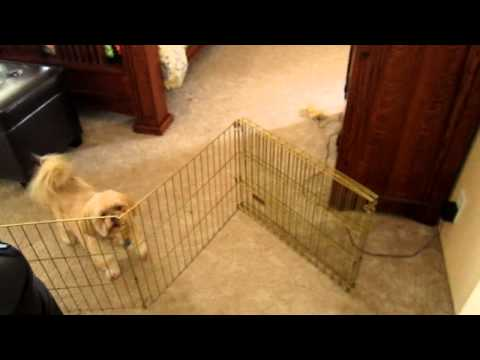 Brilliant Lhasa Apso Breaks Out of Doggie Jail