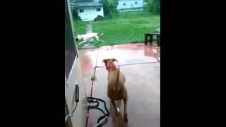 animale cazatura comica caine