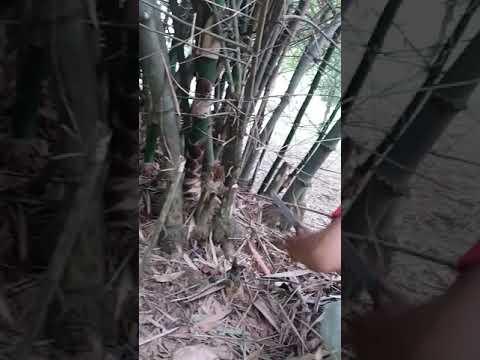 Mbolang Pencarian Bambu Unik, Bercabng 5