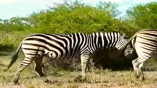Nonton Wildlife Animal Zebra 2016 - BEST Animals Documentary Full HD Film Subtitle Indonesia Streaming Movie Download