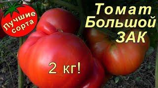 Томат Большой ЗАК – самые большие помидоры в мире