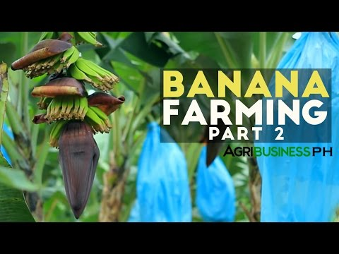 How to grow Banana Tree Part 2 : Banana Farm Management  | Agribusiness Philippines