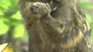 Tití pigmeo, el mono más pequeño del mundo