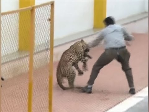 How Crazy Is This?? Watch This Wild Leopard Run Free Thru A School Hall ((VIDEO))