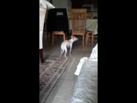 White Chihuahua… Lucas barking