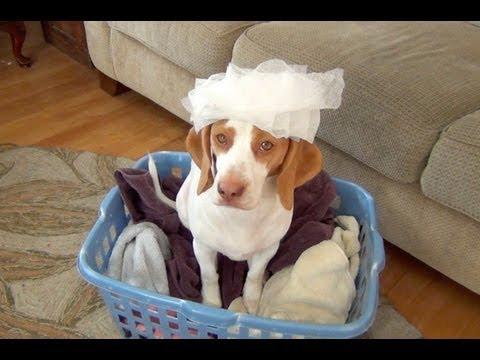Cachorro Beagle disfruta del día de lavado