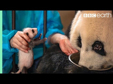 The Panda Who Wasn't Aware She'd Had Twins