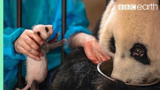 Video Panda Doesn't Realise She's Had Twins! | BBC Earth MP3, 3GP, MP4, WEBM, AVI, FLV Agustus 2018
