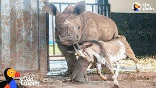 Baby Rhino Grows Up With Goat Best Friend | The Dodo by The Dodo