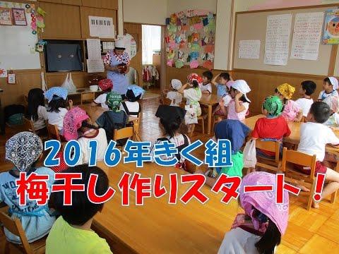 八幡保育園(福井市)2016梅干し作り きく組(5歳児年長)が今年もみんなでチャレンジ!うまくできるかな?