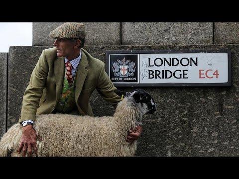 800 Jahre Tradition: Schaftreiben über die London Bri ...