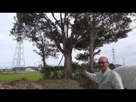 クスノキ 大きな木 メインツリー Takezo・ファーム オリンピック