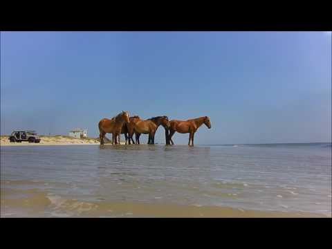 Wild Horses Corolla NC Outer Banks