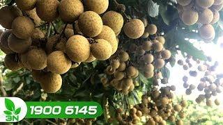 Nông nghiệp | Hưng Yên: Bán 26.000 tấn nhãn với giá trên 25.000 đồng/ 1kg