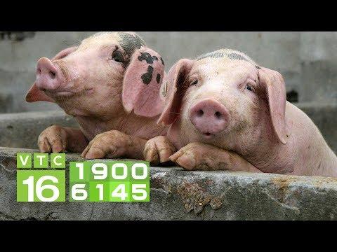 Dịch tả lợn Châu Phi khiến giá lợn giảm liên tục | VTC16 - Thời lượng: 92 giây.
