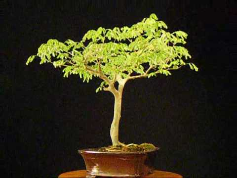brazilian raintree - Brazilian Raintree Bonsai Rain Tree MybonsaiBuddy.com Bonsai Trees For Sale.